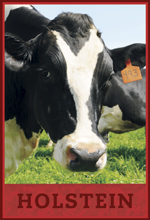 holstein dairy cow
